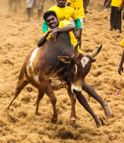 SC refuses to allow Jallikattu