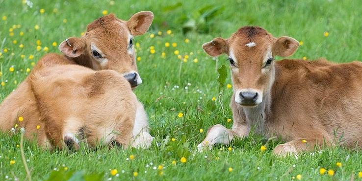 Bovine intervention: Here comes a unique ID number for cows
