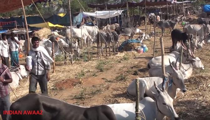 cattle fair