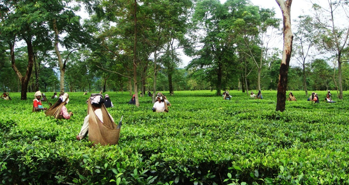 Tea at Rs 50,000 per kg in Assam