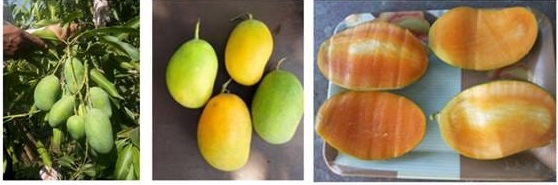 It is time to relish 'Sadabahar' mango